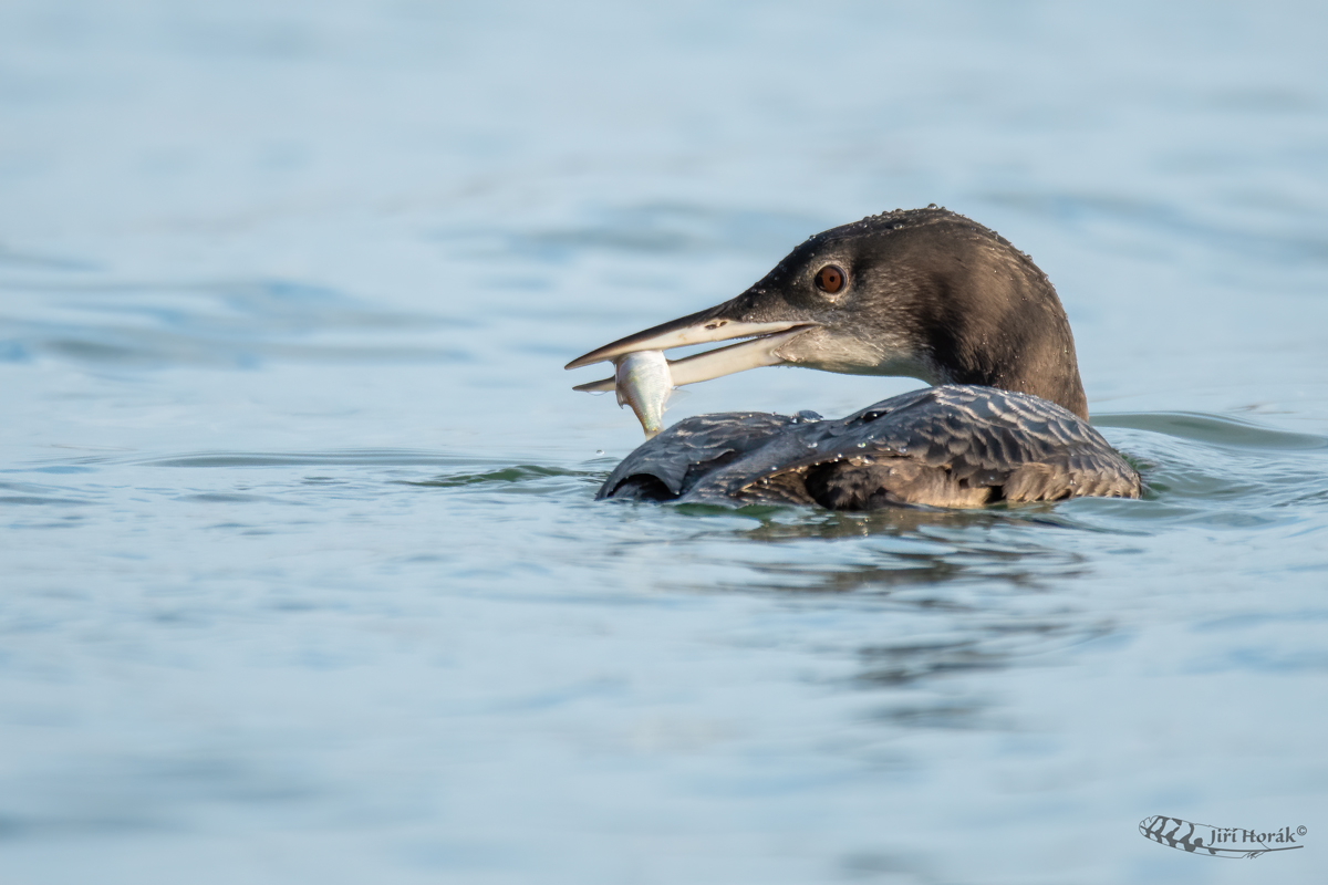 Potáplice lední | Gavia immer | Great Northern Loon